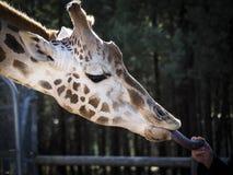 Giraff som tar en fest från vårdare Royaltyfria Foton