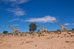 Giraff som tre går i det torra landskapet för öken Arkivfoto