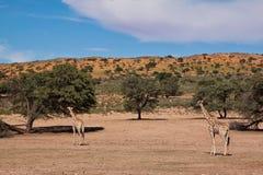 Giraff som två går i det torra landskapet för öken Royaltyfri Fotografi