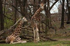 Giraff som tycker om deras tid i morgon Arkivfoton
