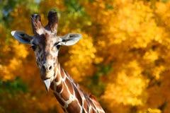 Giraff som ut klibbar tungan Arkivbild