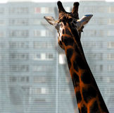 giraff som ut ser fönstret Arkivbild