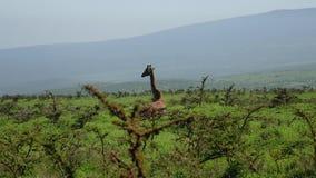 Giraff som vilar att ligga på gräs på kullen bland buskar med taggar i lös afrikan lager videofilmer