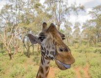 Giraff som visar dess tunga Arkivbild