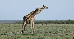 Giraff spelar att slåss - Etosha stock video