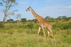 giraff tanzania Royaltyfria Bilder