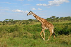 giraff tanzania Arkivbild