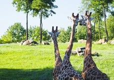 Giraff tre Royaltyfria Bilder
