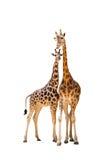 giraff två Royaltyfria Bilder