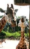 giraff två royaltyfria foton