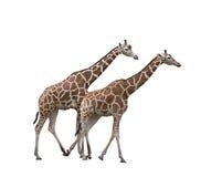 giraff två Arkivfoto