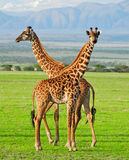 giraff två Arkivbilder