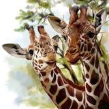 giraff två vektor illustrationer