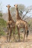 giraff två Fotografering för Bildbyråer