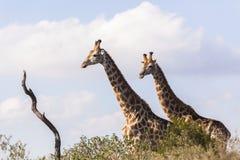 Giraff två djur Arkivfoto
