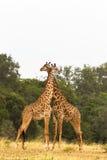 giraff två Krig i savannet mara masai Royaltyfri Bild