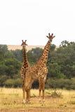 giraff två Savann av masaien Mara Arkivfoto