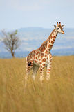 Giraff Uganda, Afrika Arkivfoto