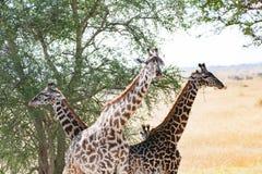 Giraff under det afrikanska kameltaggträdet, Tanzania royaltyfri fotografi