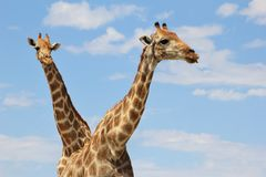 Giraff - underbar oändliga Blue och guld Arkivbilder