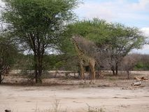 Giraff w Afryka safari Tarangiri-Ngorongoro Fotografia Stock