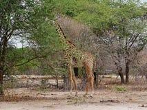 Giraff w Afryka safari Tarangiri-Ngorongoro Obrazy Stock