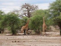 Giraff w Afryka safari Tarangiri-Ngorongoro Fotografia Royalty Free