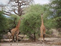 Giraff w Afryka safari Tarangiri-Ngorongoro Obraz Stock