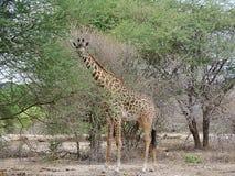 Giraff w Afryka safari Tarangiri-Ngorongoro Zdjęcie Royalty Free