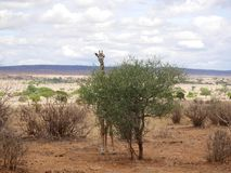 Giraff w Afryka safari Tarangiri-Ngorongoro Zdjęcia Stock
