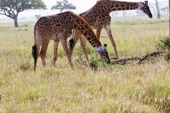 Giraffa жирафа в национальном парке Serengeti Стоковое Изображение RF