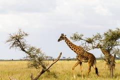 Giraffa жирафа в национальном парке Serengeti Стоковые Изображения RF