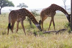Giraffa жирафа в национальном парке Serengeti Стоковые Фото