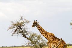 Giraffa жирафа в национальном парке Serengeti Стоковые Изображения