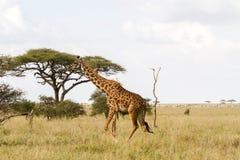 Giraffa жирафа в национальном парке Serengeti Стоковая Фотография