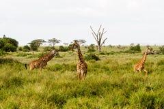Giraffa жирафа в национальном парке Serengeti Стоковое Изображение