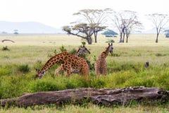 Giraffa жирафа в национальном парке Serengeti Стоковые Фотографии RF