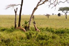 Giraffa жирафа в национальном парке Serengeti Стоковая Фотография RF