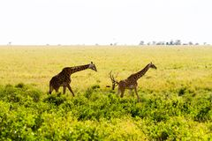 Giraffa жирафа в национальном парке Serengeti Стоковое Фото