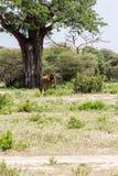 Giraffa жирафа в национальном парке Tarangire, Танзании Стоковое Фото