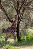 Giraffa жирафа в национальном парке Tarangire, Танзании Стоковые Фото