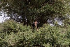 Giraffa жирафа в национальном парке Tarangire, Танзании Стоковая Фотография RF