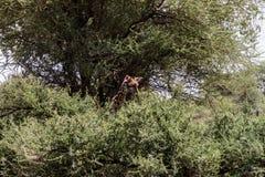 Giraffa жирафа в национальном парке Tarangire, Танзании Стоковые Изображения RF