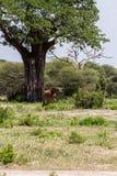 Giraffa жирафа в национальном парке Tarangire, Танзании Стоковое Изображение RF