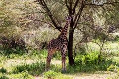 Giraffa жирафа в национальном парке Tarangire, Танзании Стоковая Фотография