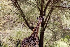 Giraffa жирафа в национальном парке Tarangire, Танзании Стоковое фото RF