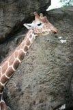 Giraffa жирафа на зоопарке Филадельфии Стоковые Изображения RF