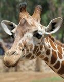 Giraffa. Fotografia Stock