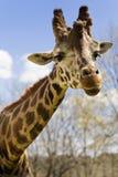 Giraffa Immagini Stock