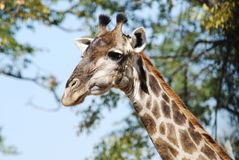 Giraffa Stock Image